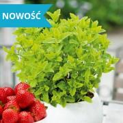 Mięta truskawkowa